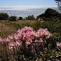 Amaryllis belladonna Mendocino Coast, Bob Rutemoeller