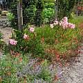 Amaryllis belladonna, Mary Sue Ittner
