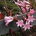Amaryllis belladonna, Mendocino Coast, Bob Rutemoeller