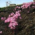 Amaryllis belladonna after fire, Mary Sue Ittner