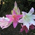 Amaryllis belladonna hybrid, Mary Sue Ittner
