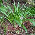 Amaryllis belladonna leaves, Mary Sue Ittner
