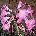 Amaryllis belladonna multiflora hybrid, Paul Tyerman