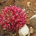 Ammocharis coranica, near Octavi Namibia, Cody Howard