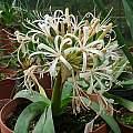 Ammocharis coranica, white form, Rogan Roth