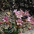 Ammocharis longifolia, UCBG, Nhu Nguyen