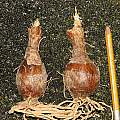 Ammocharis nerinoides mature bulbs, Dylan Hannon
