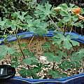 Amoreuxia gonzalezii plant, Leo A. Martin