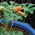 Amoreuxia gonzalezii flower closeup, Leo A. Martin