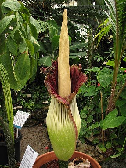 Amorphophallus Titanum | Fauna dan Flora