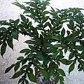 Amorphophallus rivieri var. konjac leaves, Angelo Porcelli