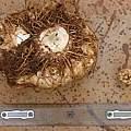 Amorphophallus mossambicensis, Lilayi, Nicholas Wightman