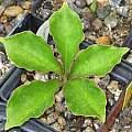 Amorphophallus muelleri seedling, Monica Swartz