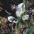 Androcymbium burchellii, Mary Sue Ittner