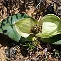 Androcymbium burchellii, syn. Colchicum coloratum ssp. burchellii, Alan Horstmann