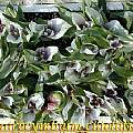 Androcymbium ciliolatum, Bill Dijk