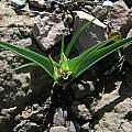 Androcymbium longipes, Naude's Nek, Mary Sue Ittner