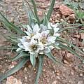 Androcymbium palaestinum in the Jordan Valley, Oron Peri