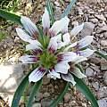 Androcymbium palaestinum, syn. Colchicum palaestinum,  in the Jordan Valley, Oron Peri