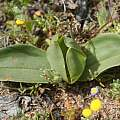 Androcymbium sp., Kamiesberg, Andrew Harvie