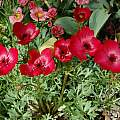 Anemone biflora, Jane McGary