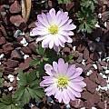 Anemone blanda, John Lonsdale