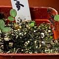 Anemone blanda seedlings, April 18th 2014, David Pilling