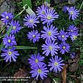 Anemone blanda 'Atrocaerulea', Mark Wilcox