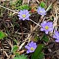 Anemone caucasica, Oron Peri