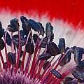 Anemone coronaria 'Hollandia', David Pilling