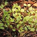 Anemone coronaria seedlings, Travis Owen