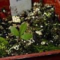 Anemone nemorosa seedling 18th April 2014, David Pilling