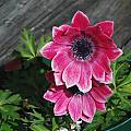Anemone pavonina, Mary Sue Ittner