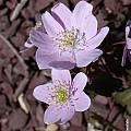 Anemonella thalictroides, John Lonsdale