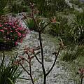 Anigozanthos flavidus, Mary Sue Ittner