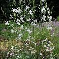 Anthericum ramosum, Mark McDonough