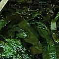 Aponogeton boivianus leaves, Janos Agoston