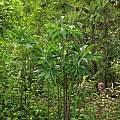 Arisaema cf. consanguineum, Nhu Nguyen