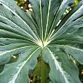 Arisaema consanguineum, Arnold Trachtenberg