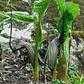 Arisaema elephas in habitat, Oron Peri