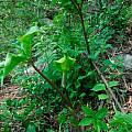 Arisaema macrospathum - flower, Dennis Szeszko