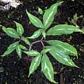 Arisaema serratum, Paige Woodward