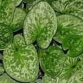 Arisarum vulgare 'typicum', Dylan Hannon