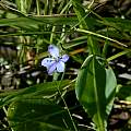 Aristea abyssinica, Naude's Nek, Bob Rutemoeller [Shift+click to enlarge, Click to go to wiki entry]