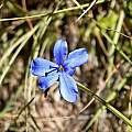 Aristea abyssinica, Cameron McMaster