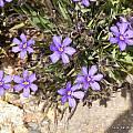 Aristea africana, UC Botanical Garden