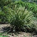 Aristea capitata, Kirstenbosch, Mary Sue Ittner