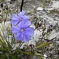 Aristea oligocephala, Napier, Cameron McMaster