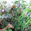 Aristolochia parvifolia, Oron Peri