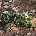 Arum idaeum, Gianluca Corazza
